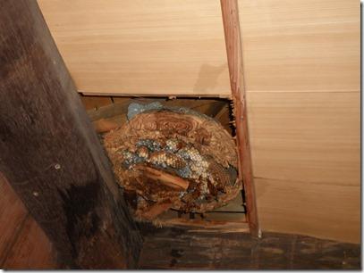 天井裏に蜂の巣